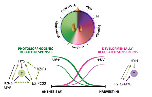 Figure 3.2. Orchestration of UV responses by bZIP transcription factors. The complementary expression patterns of HY5 and HYH in development and their induction by both low and high UV intensities is hypothesized to be in part responsible for the successful adaptation of this species to radiation. Adapted from Matus, 2016. Frontiers in Plant Science.